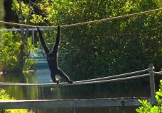Buff-Cheek Gibbon at Naples Zoo