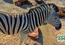 Zebra at the Naples Zoo