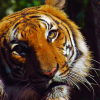 See Rare Malayan Tigers at Naples Zoo's Tiger Forest