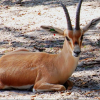 Endangered Slender-Horned Gazelle at the Naples Zoo