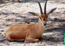 Endangered Slender-Horned Gazelle at the Naples Zoo