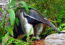 See this Giant Anteater at the Naples Zoo