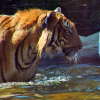 Malayan Tiger Playing in the Pool at the Naples Zoo