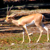 Sahara Survivors, the Endangered Slender-horned Gazelle at the Naples Zoo