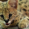 Africa's Serval Kittens, New at the Naples Zoo!