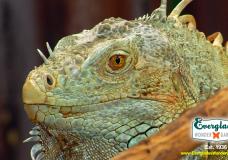Meet Buddha The Iguana at Everglades Wonder Gardens