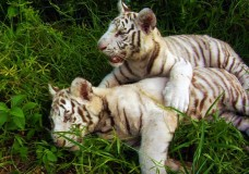 White Tiger Cubs at Kowiachobee Animal Preserve