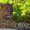 Get Wildly Close to Leopards at Naples Zoo's Leopard Rock