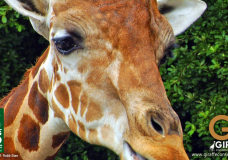 Dr. Julian Fennessy talks about Giraffe Conservation while visiting Naples Zoo