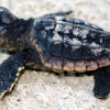 Rescued Loggerhead Sea Turtle Hatchlings Being Released in Naples
