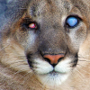 New Florida Panther Exhibit Opens Summer 2015 at Naples Zoo