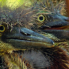 Tricolored Heron Chicks at the Naples Zoo