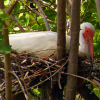 American White Ibis Nesting with Chicks