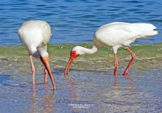 Photos of White Ibis at Delnor-Wiggins Pass State Park Beach