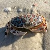 Calico Crab AKA Leopard Crab