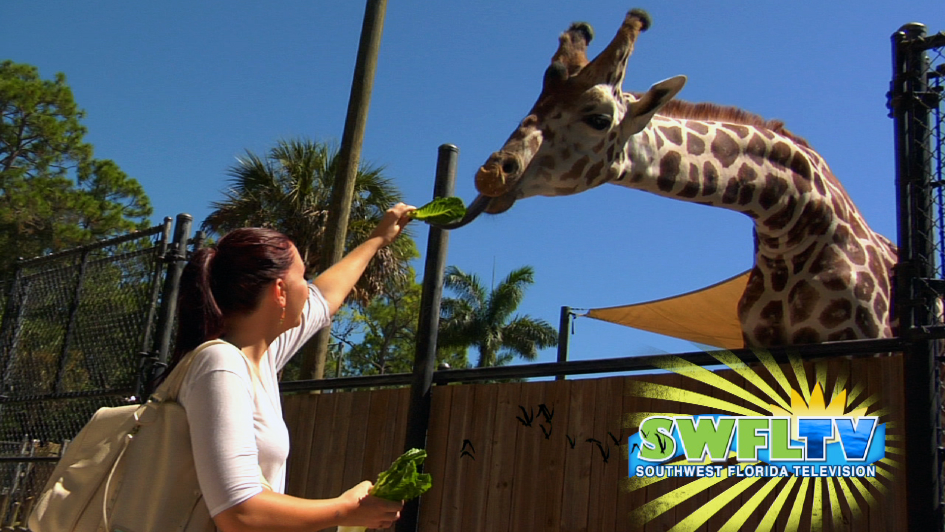 Giraffe-Feeding-Thumb