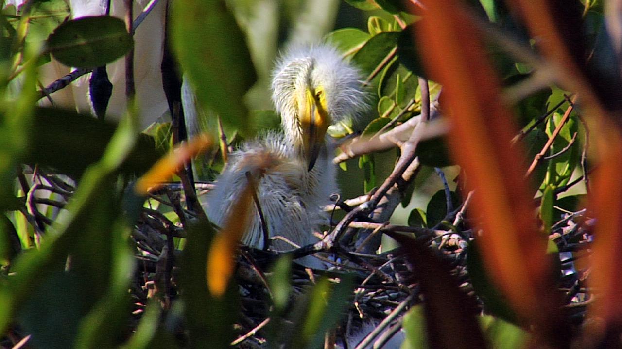 Baby-Egret-Thumb-720