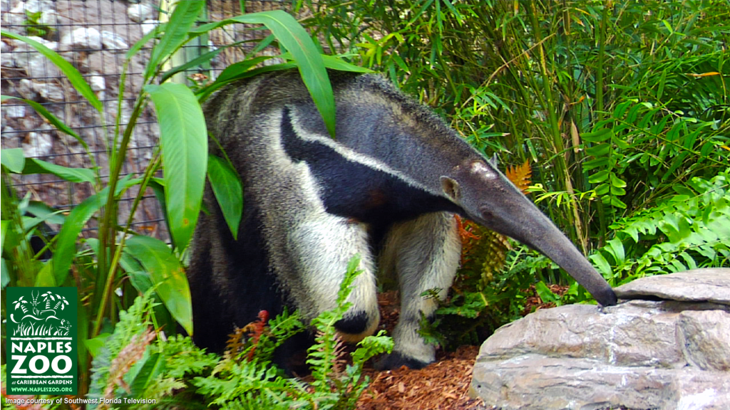 giant anteater at the naples zoo