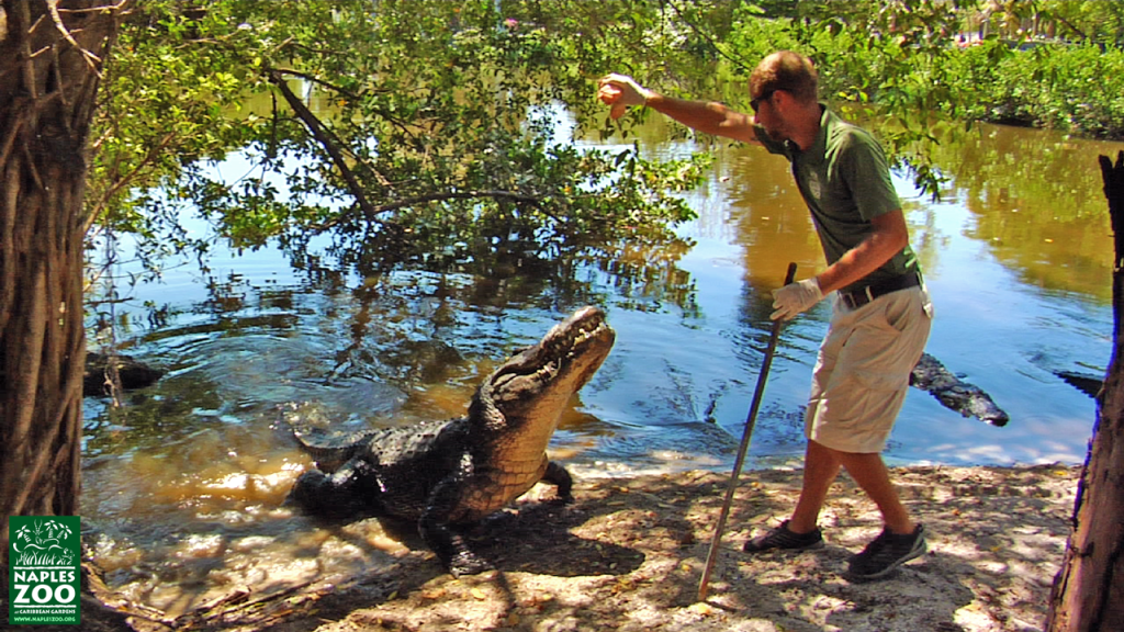 alligator feeding at the naples zoo