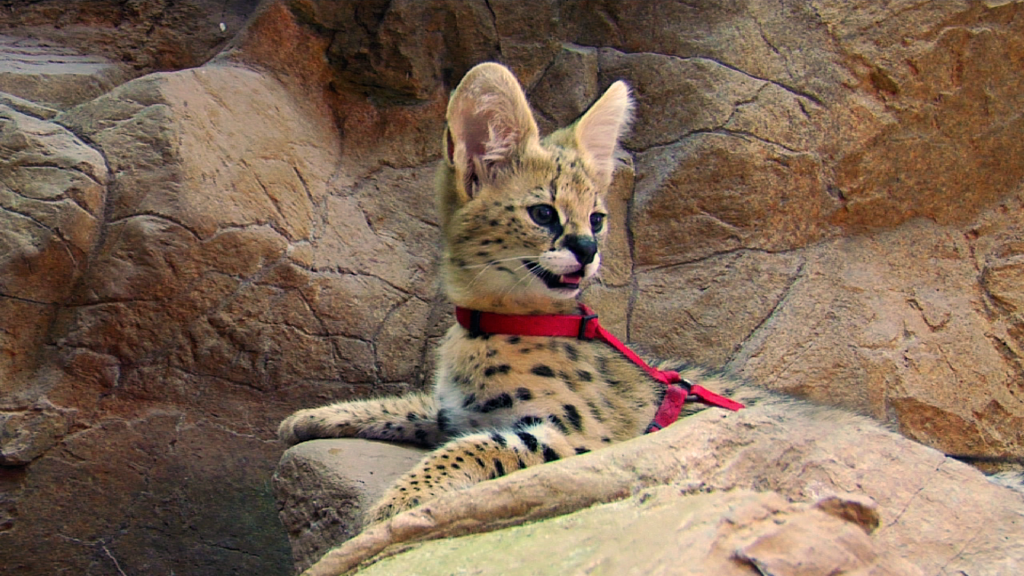African Serval Kitten at the Naples Zoo (8 wks old)