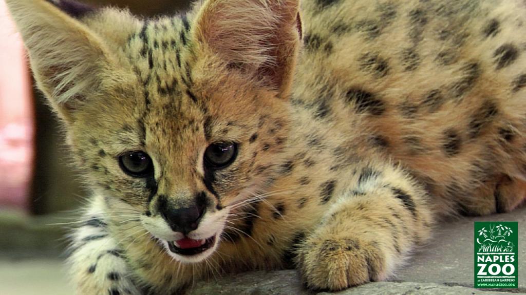 african serval kitten