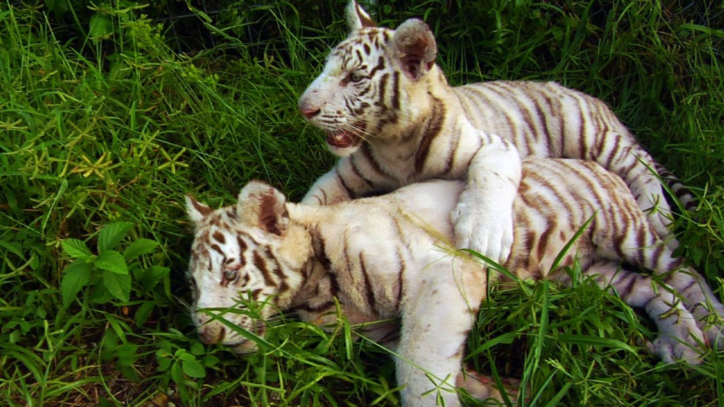 white tigers kowiachobee