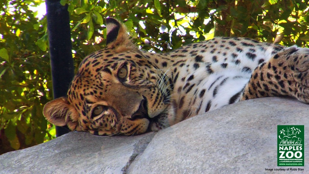 leopard laying on leopard rock at naples zoo