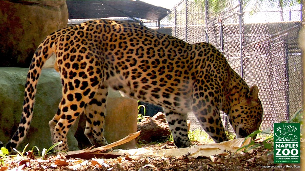naples zoo leopard