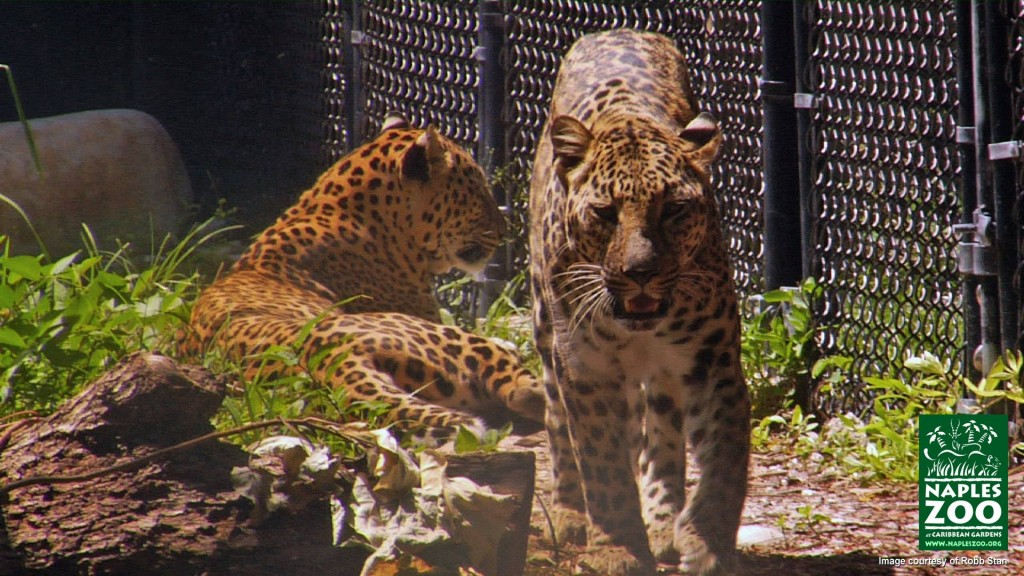 leopards at naples zoo