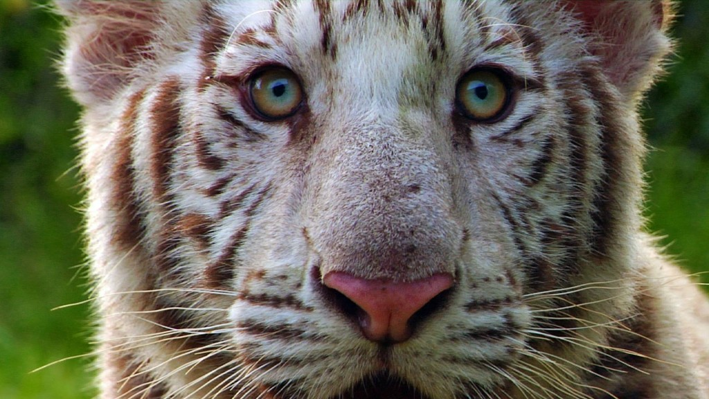 white tiger cub face