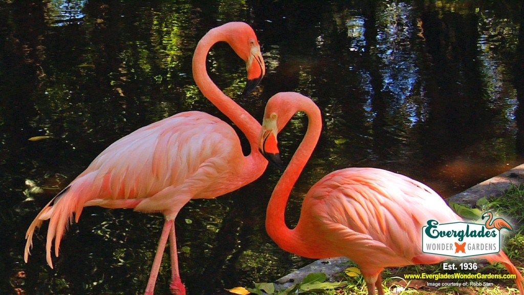 flamingos at everglades wonder gardens