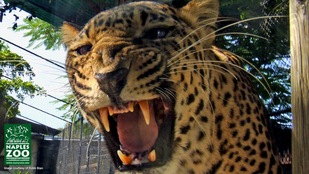 leopard roaring at Naples Zoo
