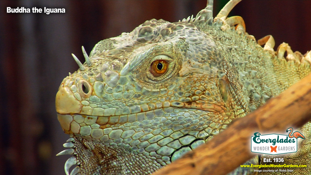 iguana buddha everglades wonder gardens