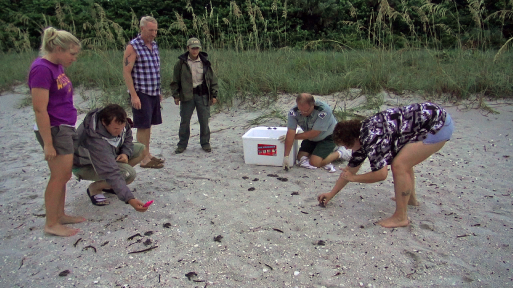 loggerhead sea turtle hatchlings being released