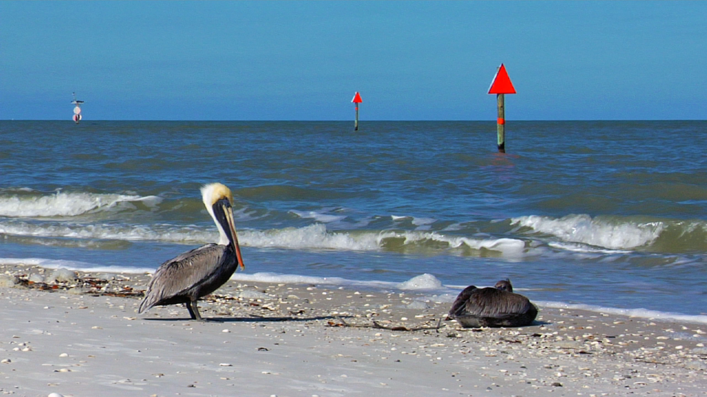 Brown Pelicans at Delnor-Wiggins Pass State Park in Naples, FL