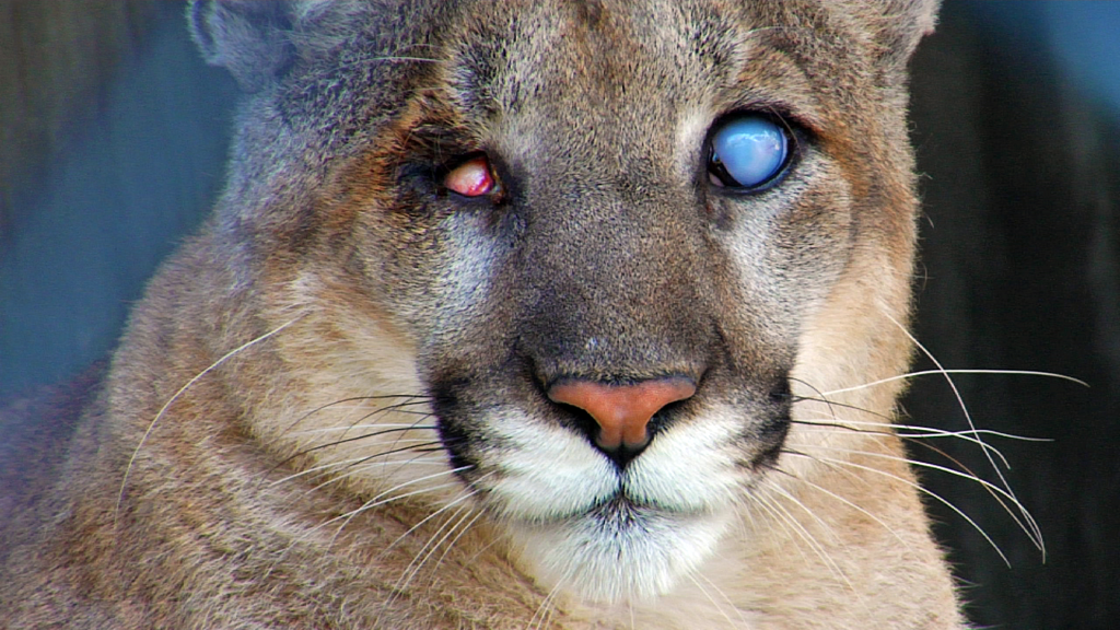 florida panther uno naples zoo