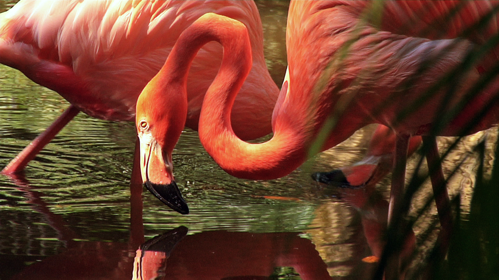 greater flamingos everglades wonder gardens
