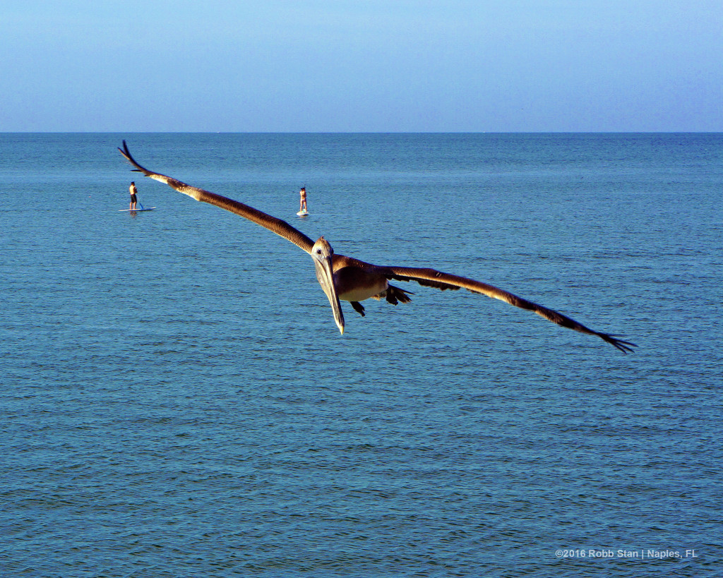 A brown pelican at the Naples Pier