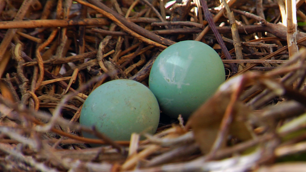 Tricolored Heron eggs