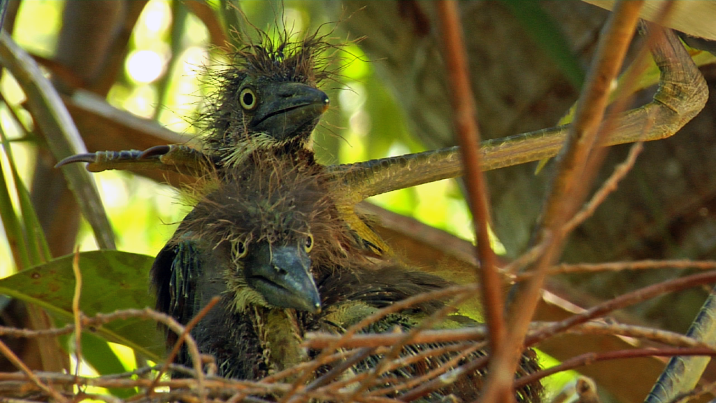 Tricolored Heron chicks