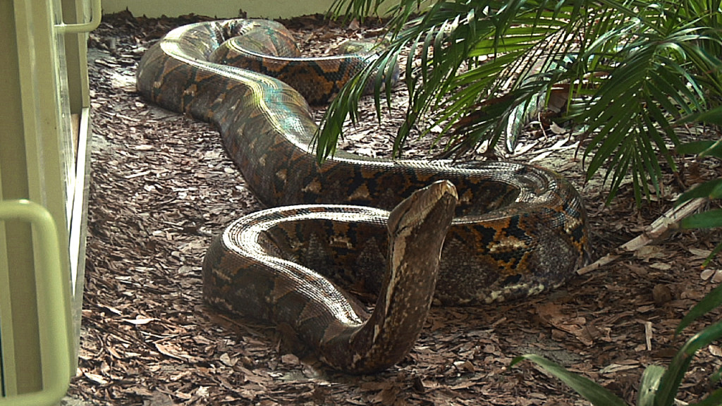 19 foot, 200 lb Reticulated Python at the Naples Zoo