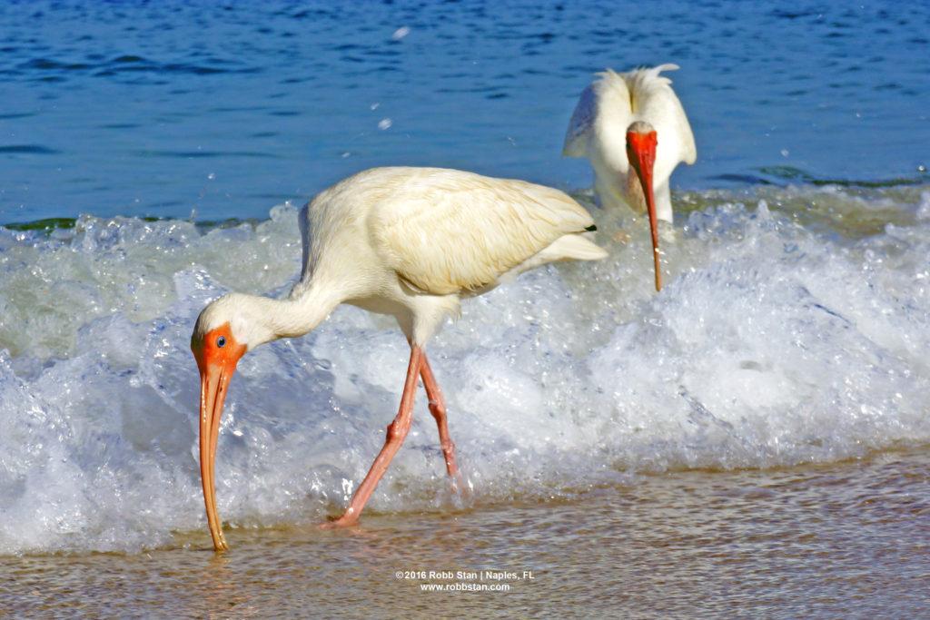 White ibis at Delnor-Wiggins Pass State Park in Naples, FL