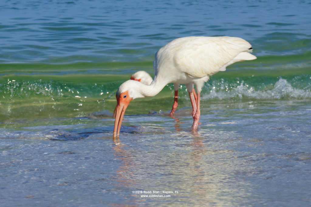 White ibis at Delnor-Wiggins Pass State Park in Naples, FL